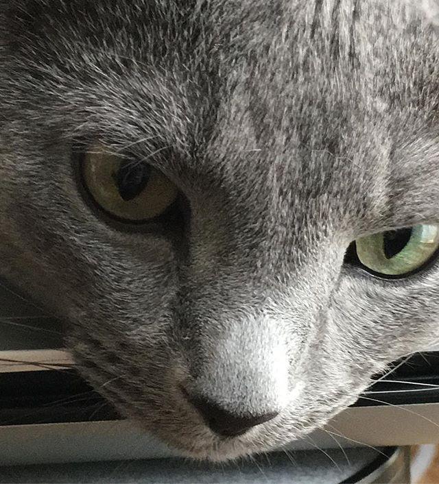 鋭い目つきのさくらもち ロシアンブルー 猫 愛猫 灰色猫 にゃんこ 猫好き にゃんすたぐらむ うなぎ さくらもち 猫の名前がうなぎです 猫の名前がさくらもちです 灰色の食べ物 Cat Lovecat Russianblue Russianblues ネ ロシアンブルー 猫 たけぞう