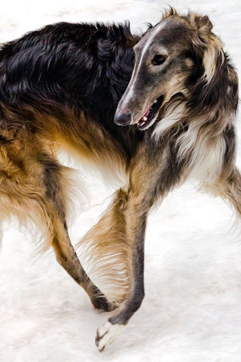 From New York City Dama Ava Glamour And Atticus Finch Photo By Eric Kogan Borzoi Dog Dog Breeds Borzoi