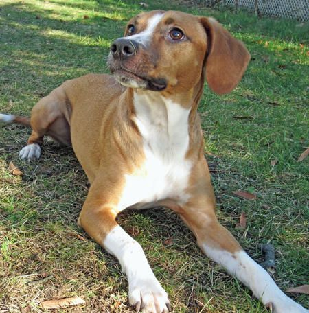 Beagle Italian Greyhound Mix Beagle Mix Domestic Dog Big Dogs