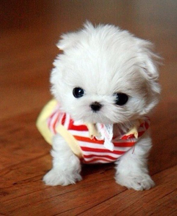 Image Result For Small White Fluffy Dog For Holidays Perros Y Bebes Perros Peligrosos Mini Perros