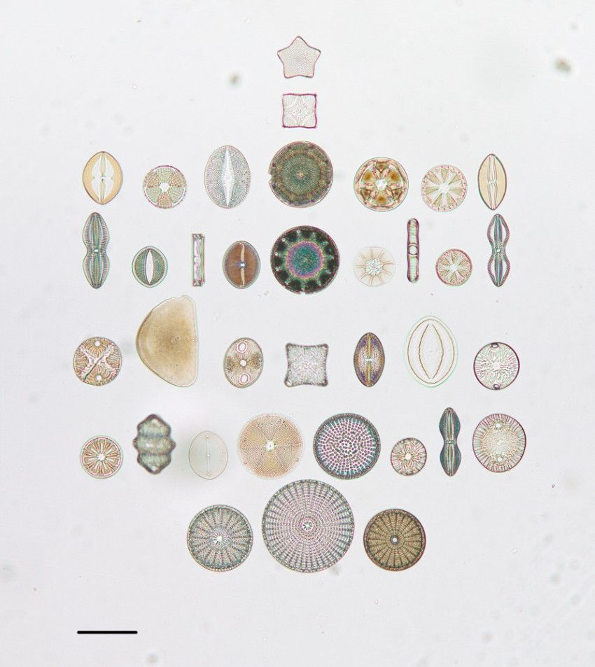 """Photograph of diatoms arranged in October 1974 on a microscope slide by R.I. Firth. The slide label reads """"Selected species from Californian fossil marine localities. To Mrs. G Dallas Hanna with compliments."""""""