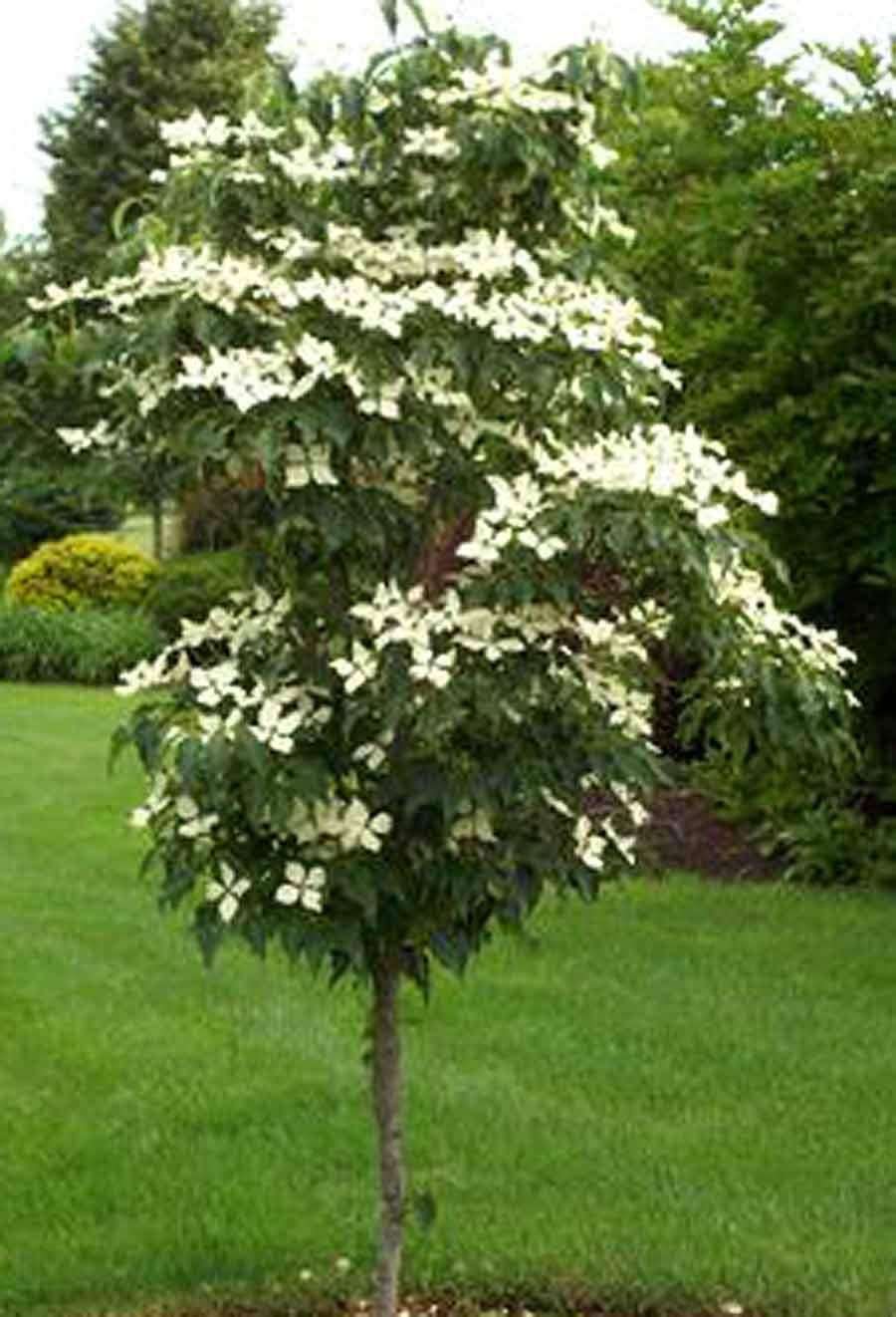 Snow Tower Cornus kousa 'Snow Tower' is the most columnar