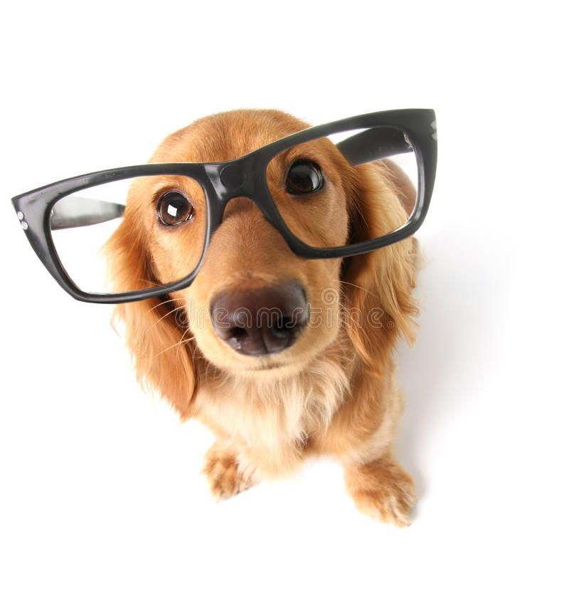 Funny Dachshund Funny Little Dachshund Wearing Glasses Distorted By Wide Angle Affiliate Glasses Distorted Smart Dog Dog Eyes Dog Pictures