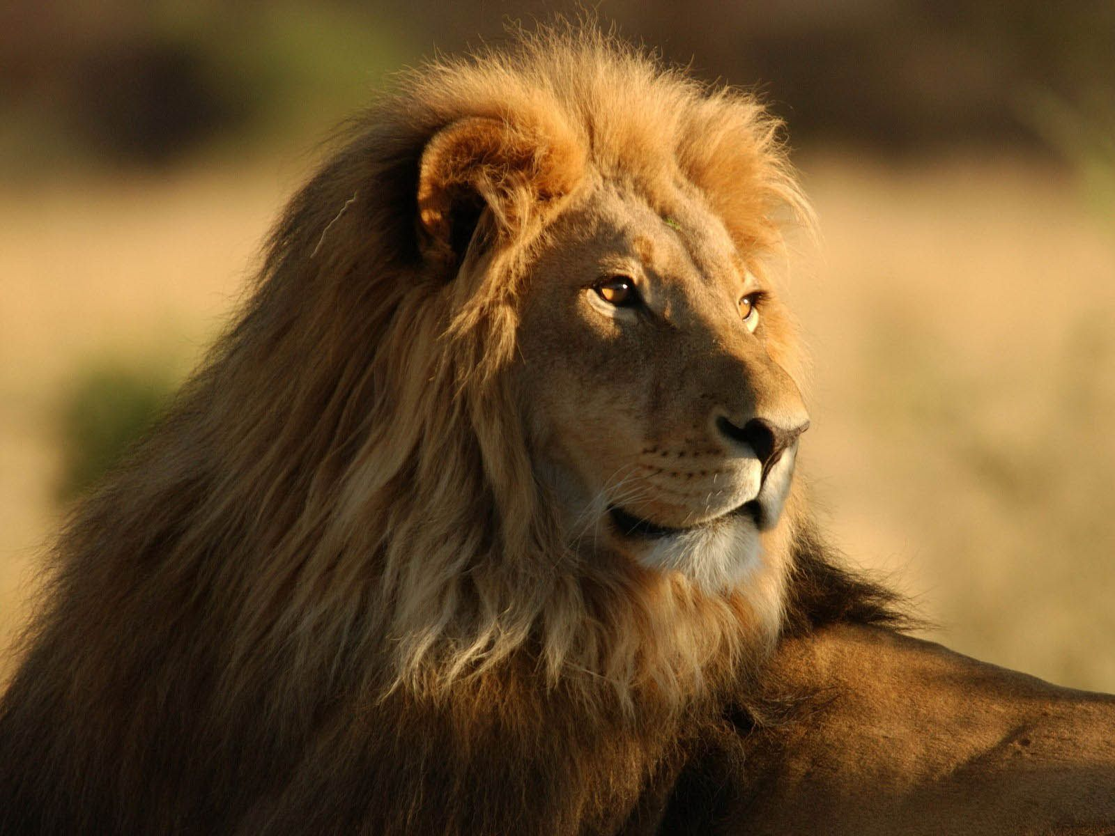 Male Lion Wallpapers 10 Jpg 1600 1200 Lion Hd Wallpaper Animals Lion Pictures