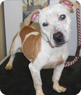 Salisbury Md Dachshund Pit Bull Terrier Mix Meet Snickerdoodle
