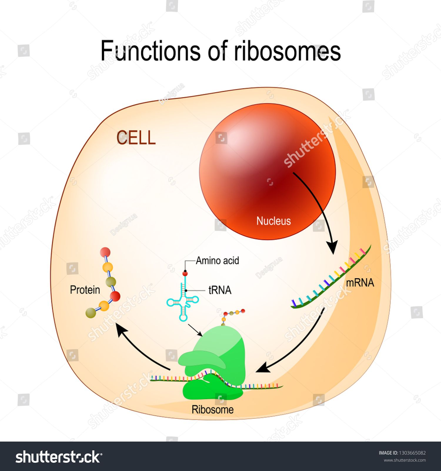 Function Of Ribosomes Cell With Organelles Nucleus Mrna