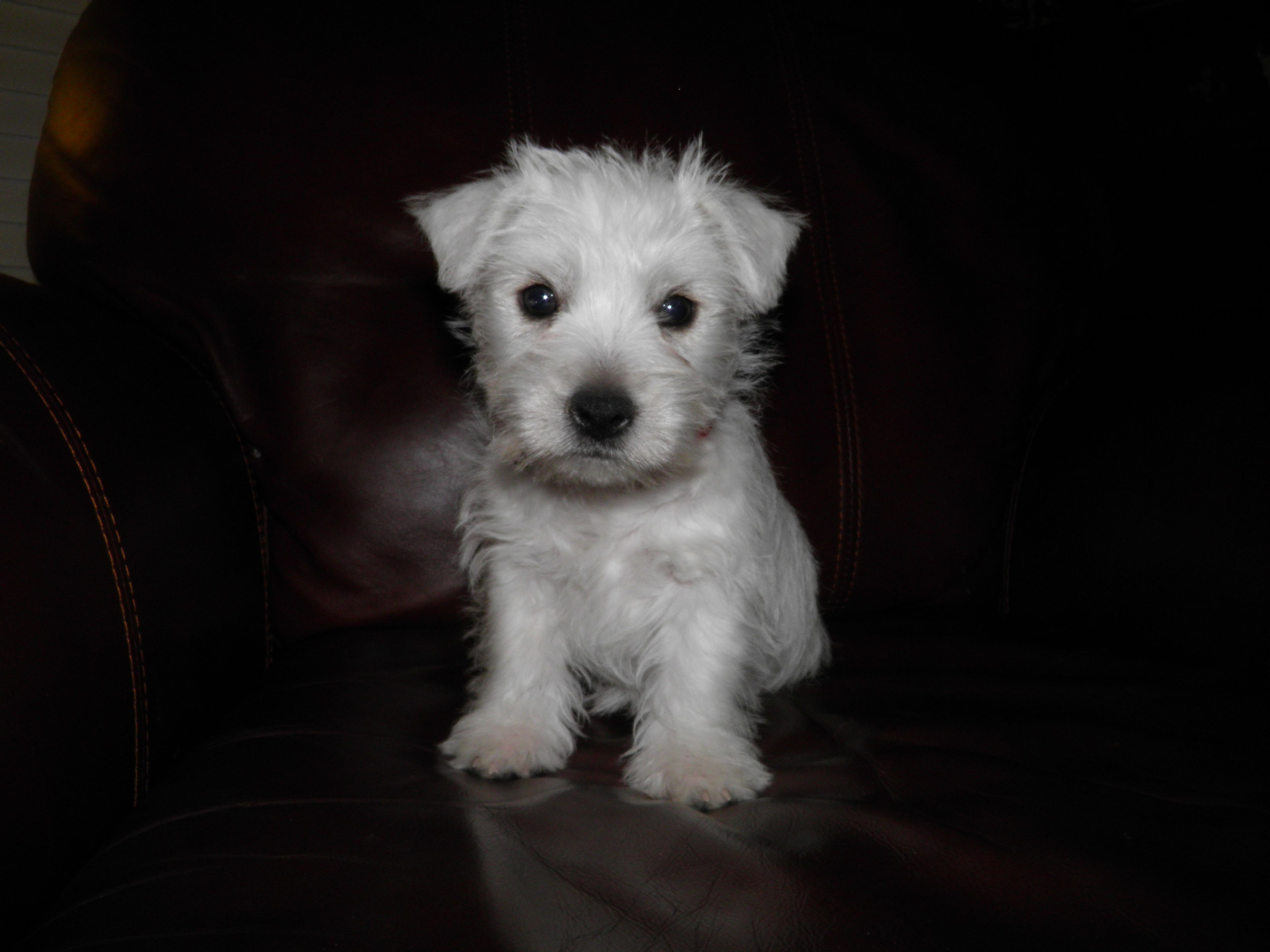 Holly 8 Weeks Old Westie Puppies Dog Love West Highland White