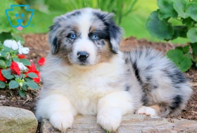 Freddy Australian Shepherd Puppy For Sale Keystone Puppies In 2020 Australian Shepherd Puppy Australian Shepherd Australian Shepherd Puppies