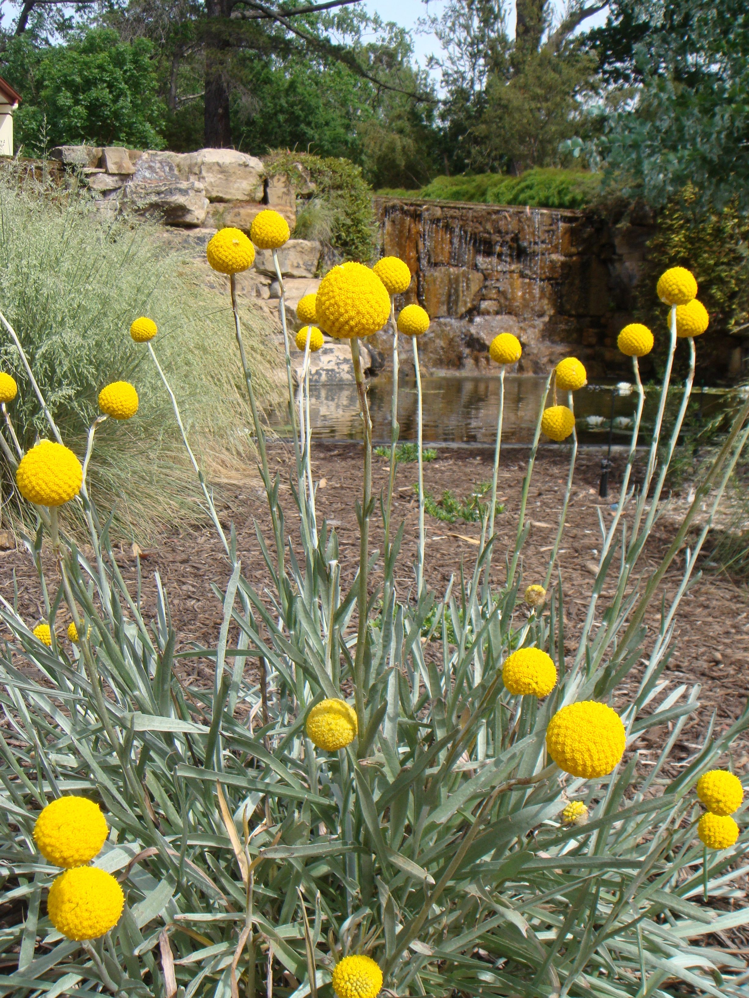 One of my favourite grassland plants.... Craspedia, otherwise known as Billy Buttons