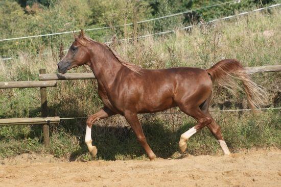 Al Zafir de Croissart - Stallion Directory