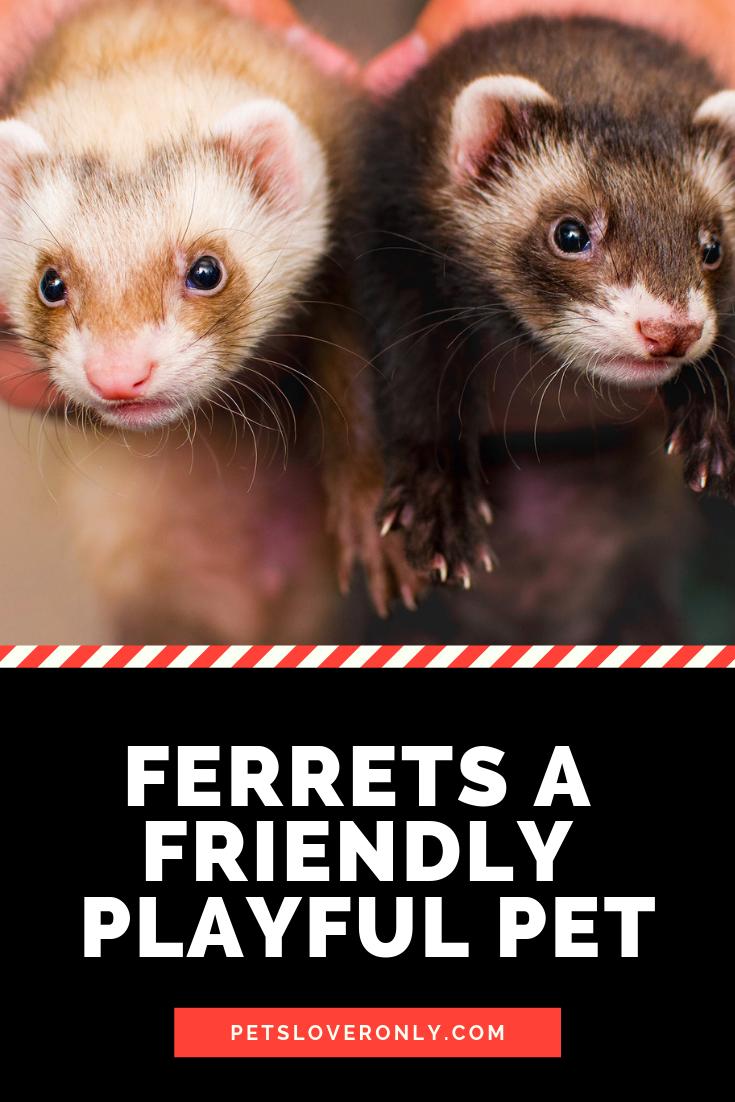 Ferrets A Friendly Playful Pet Pets Ferret Animal Lover