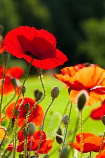 Red Poppy Fotos Blumen Mohnblume Pflanzenreich