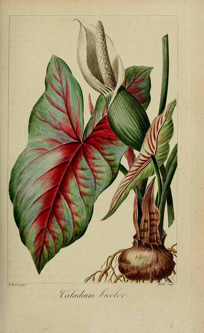 191761 Caladium bicolor (Aiton) Vent. / Mordant De Launay, F., Loiseleur-Deslongchamps, J.L.A., Herbier général de l'amateur, vol. 7: t. 492 (1817-1827) [P. Bessa]