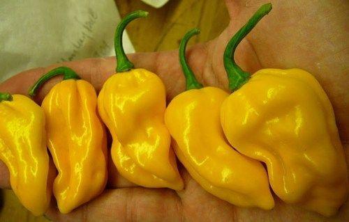 50+ Orange Habanero Hot Pepper Seeds