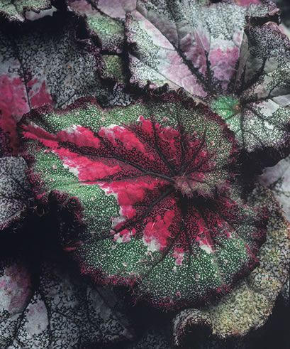 Capricorn Rex Begonia Begonia Plants Foliage Plants