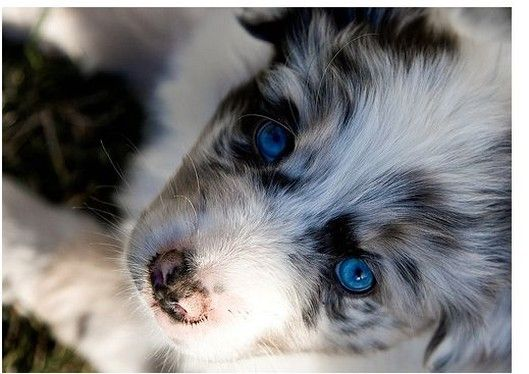 Australian Sheperd. These are definitely my favorite breed. Their coat and eyes are so unique. The blue eyes say it all