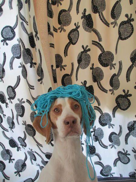 Maymo The Lemon Beagle Lemon Beagle Beagle Beagle Dog