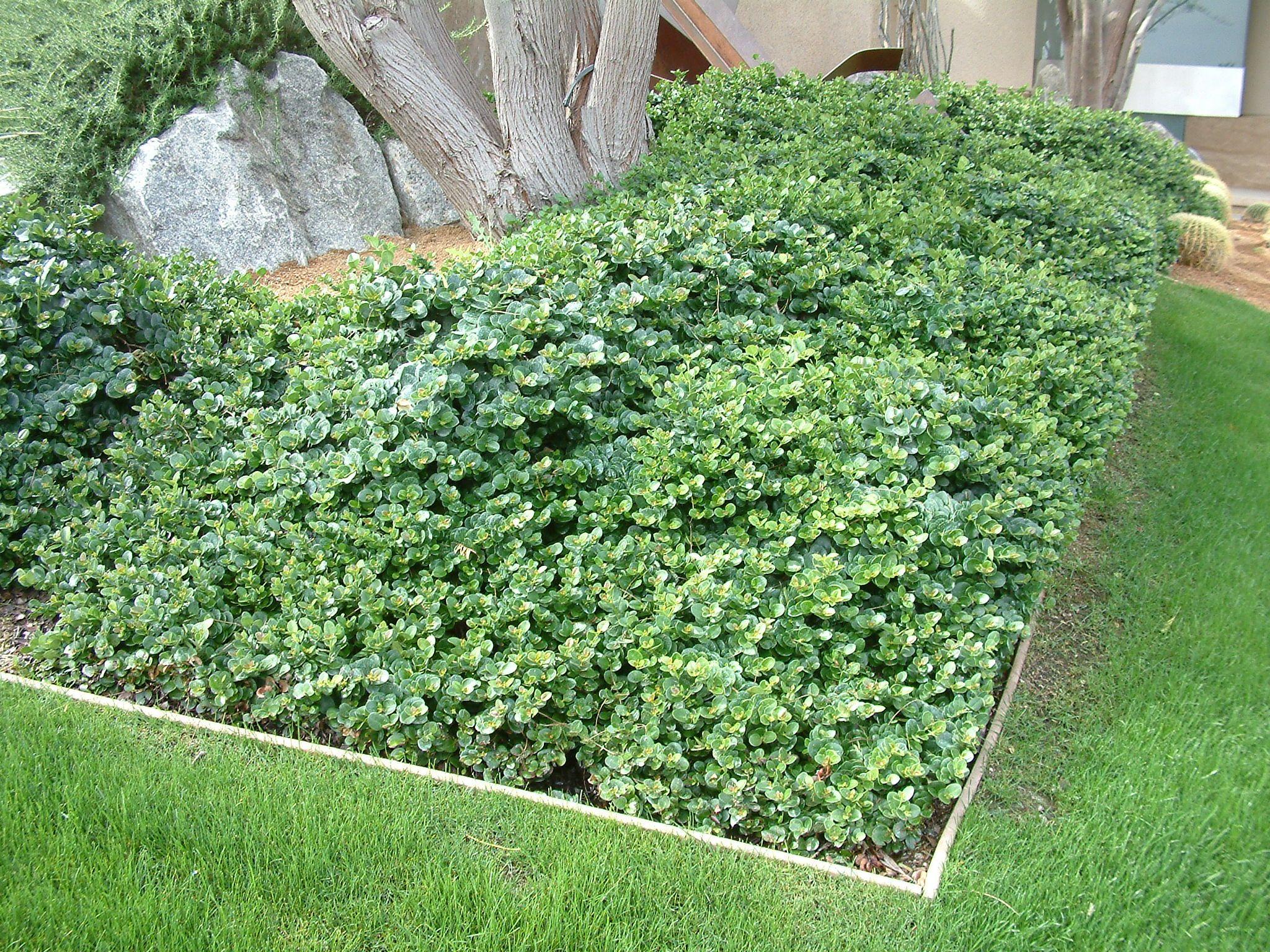 Rezultat slika za carissa green carpet Garden yard ideas