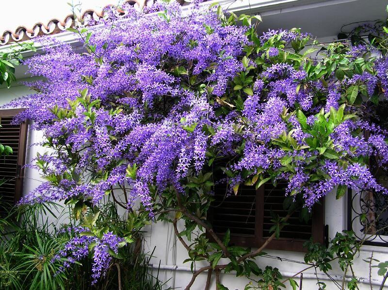 Sandpaper Vine Petrea volubilis Queens Wreath Vine Seeds 8 Bluebird Vine