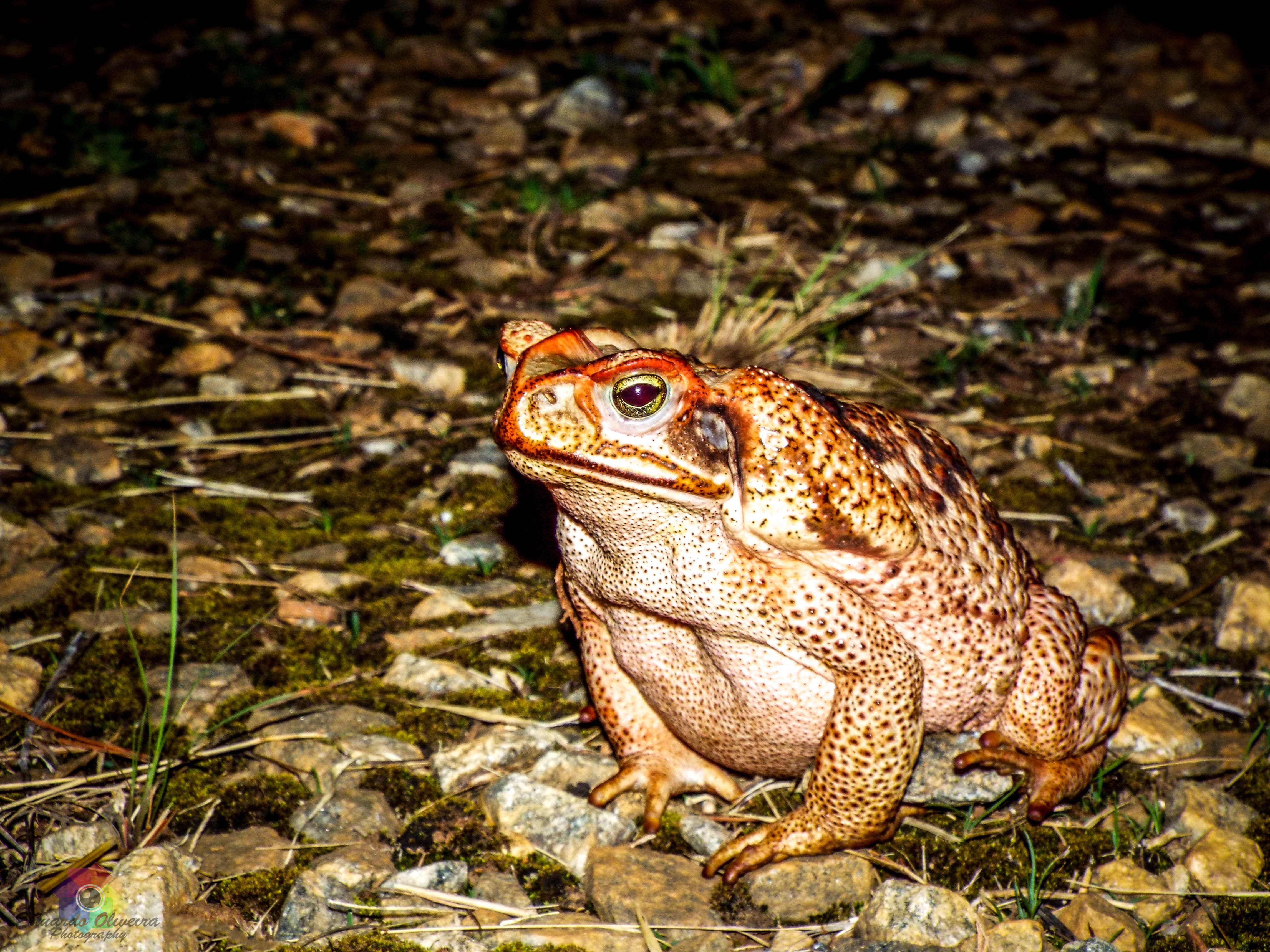 O sapo-cururu (Rhinella schneideri), encontrado em vários habitats, incluindo Cerrado e Mata Atlântica, embora ocorra principalmente em áreas abertas e urbanas, por ter se adaptado bem à perturbação antrópica. Possui pele áspera com região dorsal bastante rugosa devido à presença de glândulas cutâneas localizadas logo atrás dos olhos. Alimentam-se de insetos, tendo uma alimentação muito variada. Os machos costumam vocalizar às margens de lagos, lagoas e açudes, em áreas abertas, durante a…