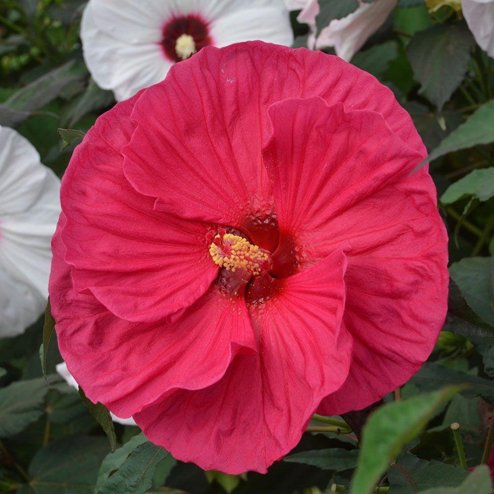 Hibiscus Flower And Diabetes Hibiscus Hibiscus Hibiscus Flowers Flower Diffuser