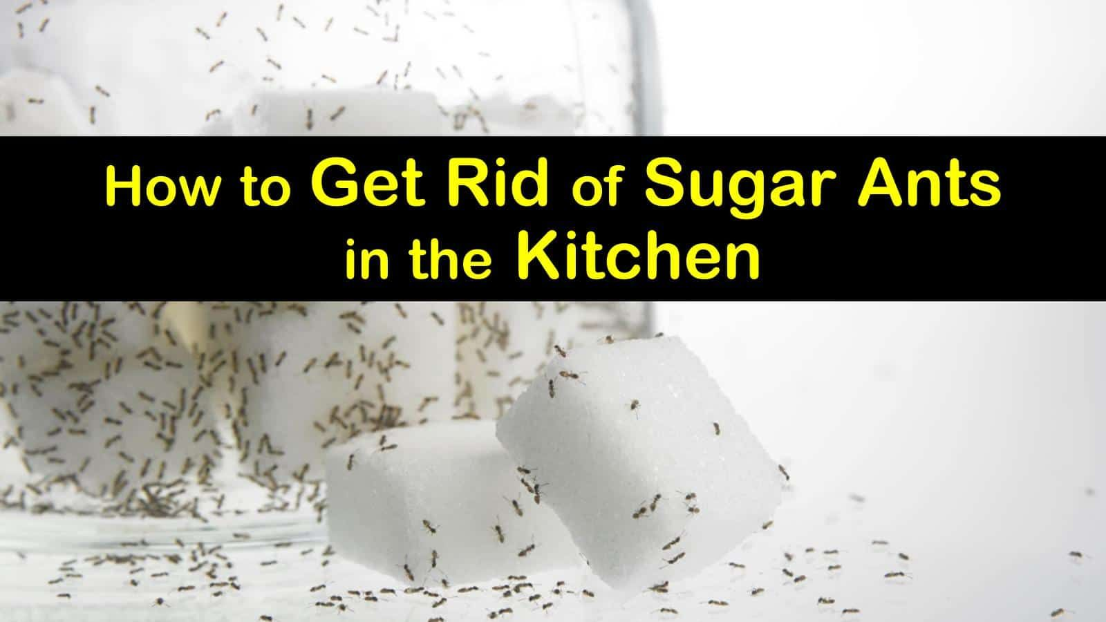 4 Simple Ways to Get Rid of Sugar Ants in the Kitchen
