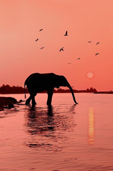 Sunset With Elephant - Chobe River, Caprivi Region, Namibia