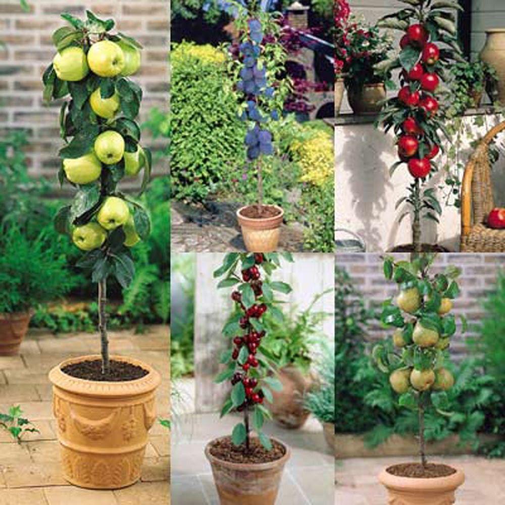 Fruit Tree Collection Dwarf Fruit Trees Fruit Trees Uk Miniature Fruit Trees