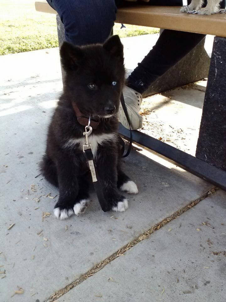 Must see Siberian Husky Blue Eye Adorable Dog - bf6837788d4e61cb2d7f4336662eb983  HD_293536  .jpg