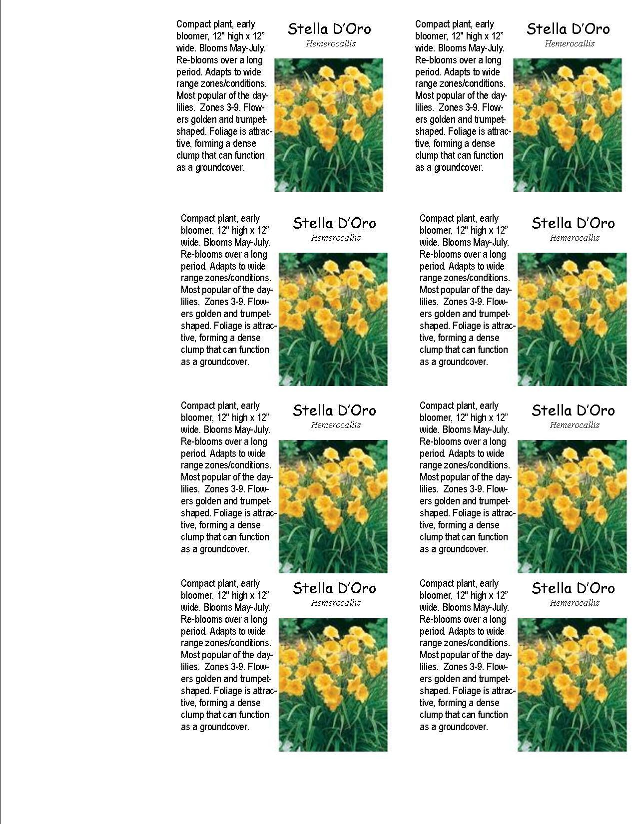 Stella Doro Daylily Seeds