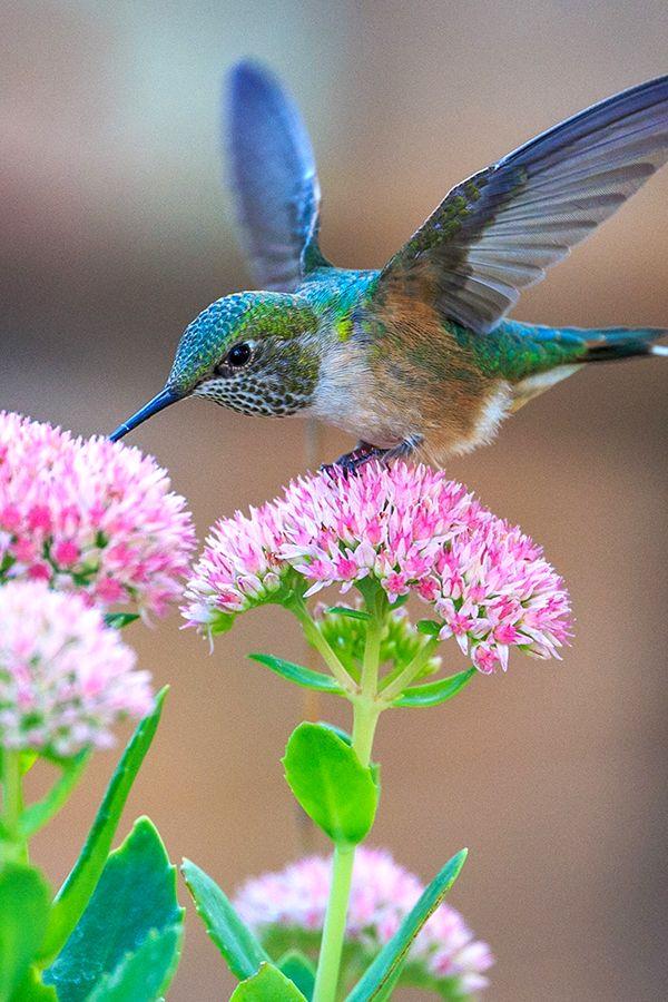 Free public domain hummingbird images