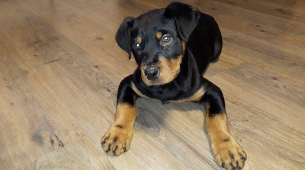 70 female rottweiler dog names rottweiler dog