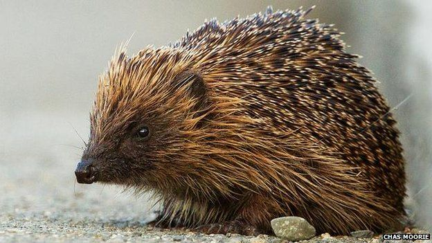 "Hedgehogs' inky paw prints point to sparse UK distribution - ""lower than anticipated"" - according to a study by Nottingham Trent University"