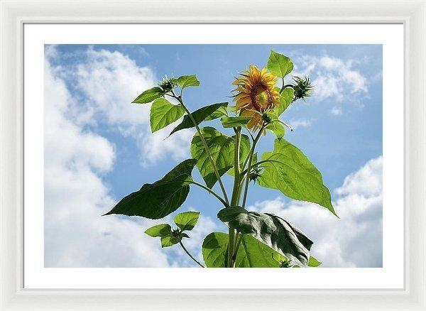 Framed Print - Sunflower Sky