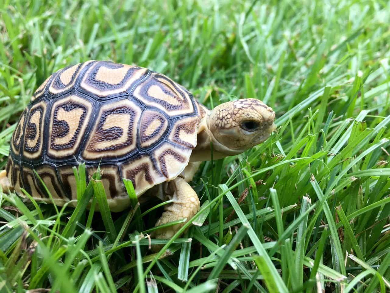 Tortoises For Sale Leopard Tortoise Tortoise Care Tortoises