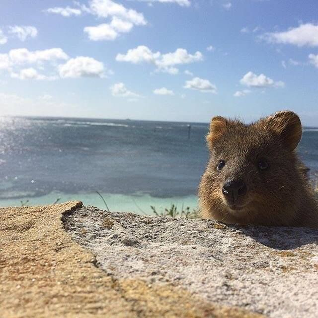 The Quokka has to be the most photogenic animal on the planet! Photo via  Rottnest Island | Niedliche tiere, Tiere, Süße tiere