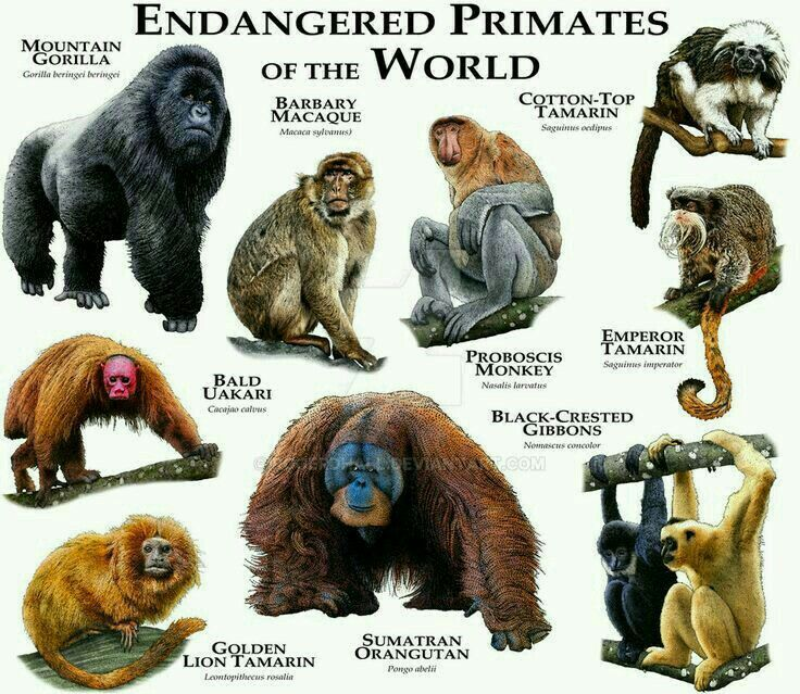 Pin by LovePeaceHarmony🌸 on Endangered Species Primates