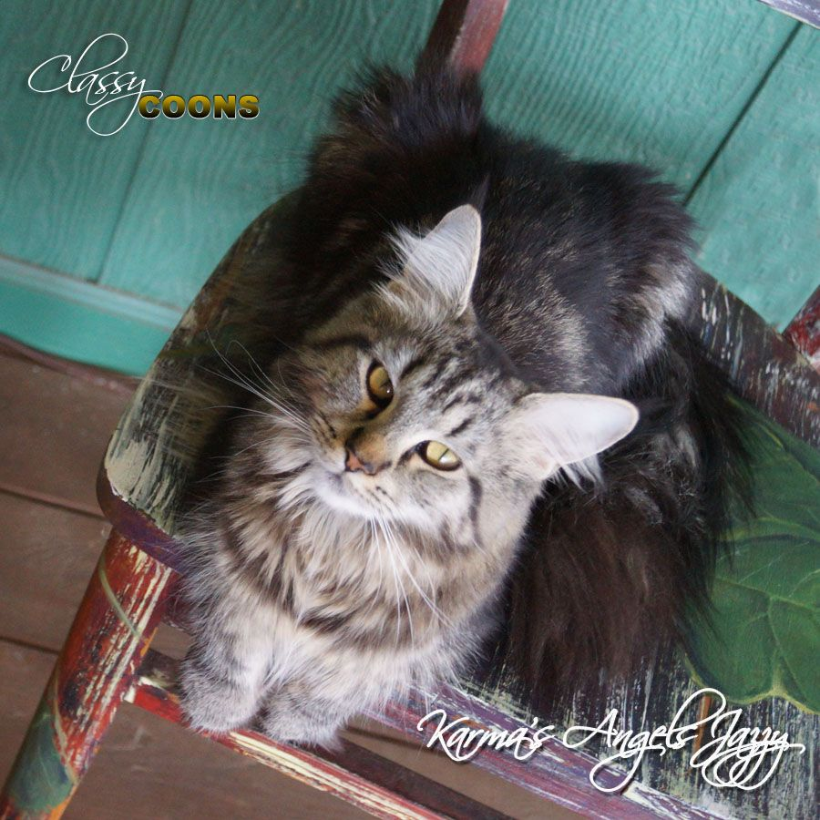 Pin Na Doske Maine Coon Katten
