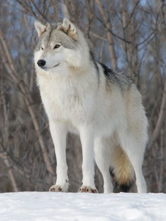 Pretty pretty wolf | Dogs and Their Relatives | Wolf, Raven