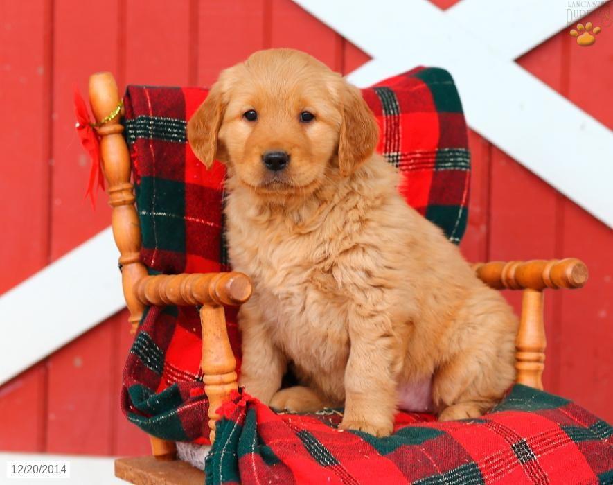 Golden Retriever Puppy for Sale in Pennsylvania Puppies
