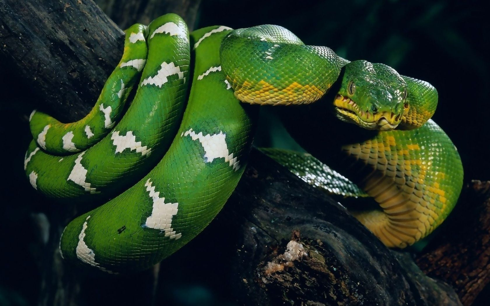 Dangerous Snake 1080p HD