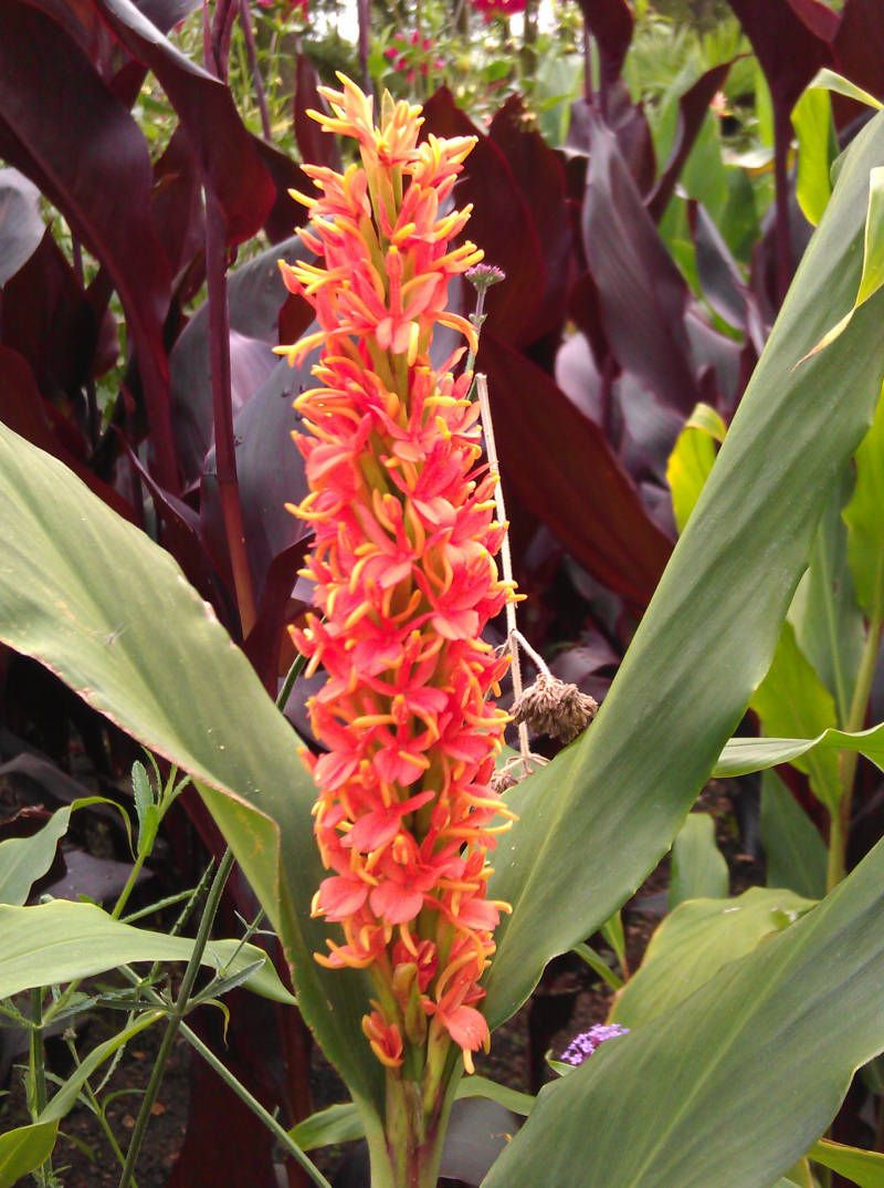 Hedychium Densiflorum Stephen Ginger Lily Family Zingiberaceae Originating From Nepal A Strong Robust Ginger Tropical Flower Plants Lily Plants Plants