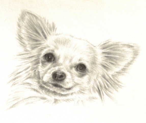 Sketches Chihuahua Dog Art Animal Drawings Pet Portraits