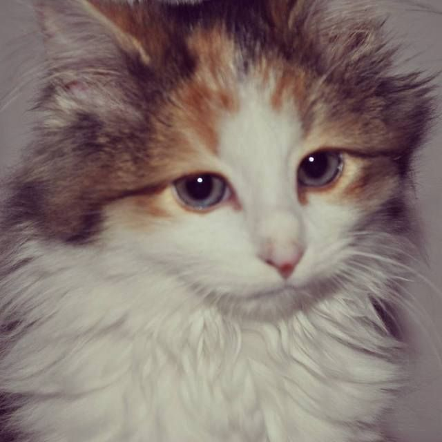 Pictures of Domestic Long Hair Cat Breed