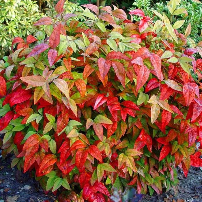 Nandina domestica berberidaceae also known as heavenly for Low maintenance winter plants