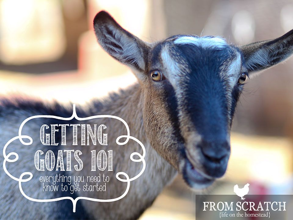 Getting-Goats-Everything-You-Need-to-Know-to-get-Started ...