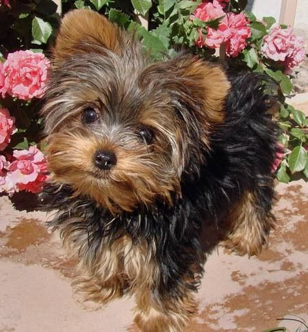 I Want A Yorkie That Looks Just Like This My Yorkie Doodle Dandee