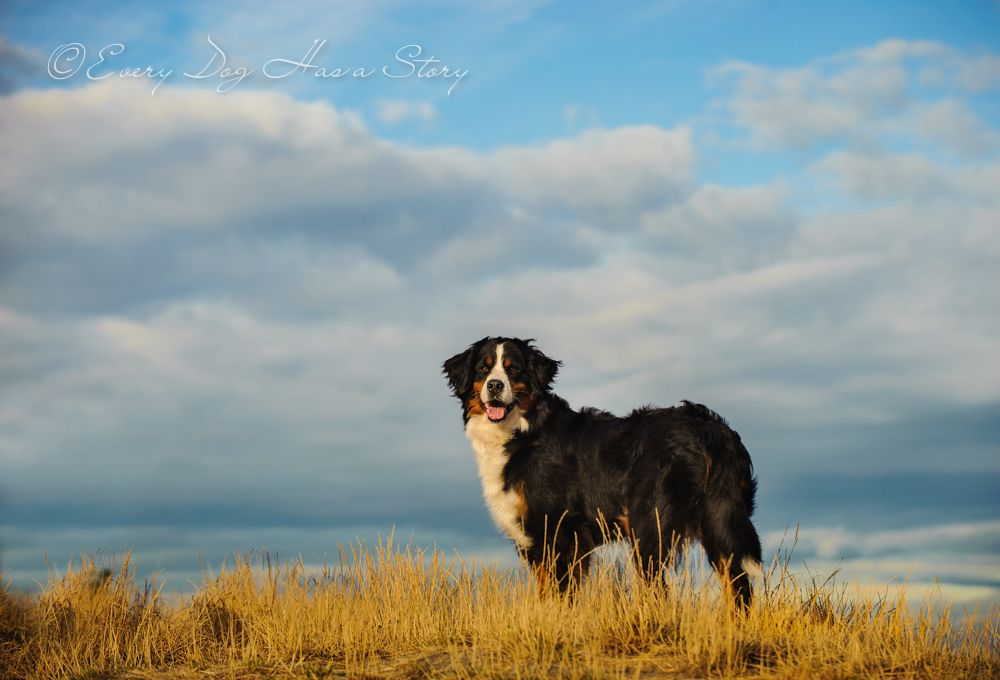 Ko bernese mountain dog bernesemountaindog httpwww