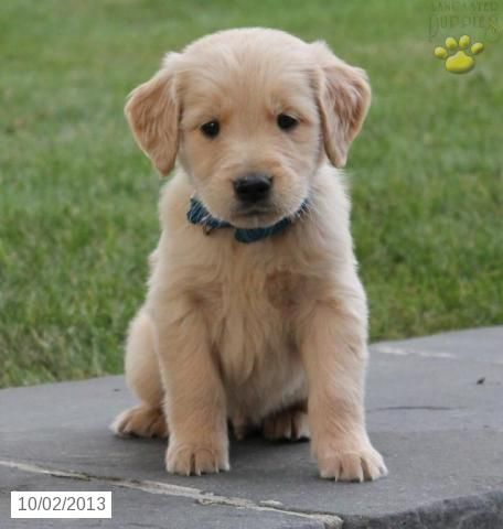 Rocky Golden Retriever Puppy For Sale In Shippensburg Pa Golden