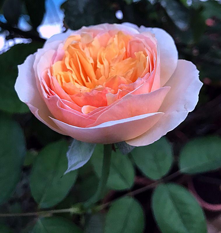 Juliet Rose Salah 1 Tanaman Termahal Di Dunia In 2021 Juliet Rose Beautiful Rose Flowers Rose